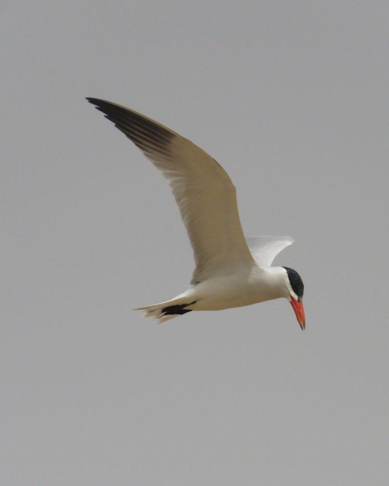 Nouvelles données sur la nidification de la Sterne caspienne (Sterna caspia) au Parc National du Diawling en Mauritanie